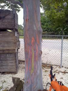 Rainbow eucalyptus trunk!