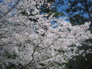 Cherry blossoms, blue sky, pines