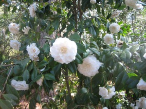 The camellias were also blooming
