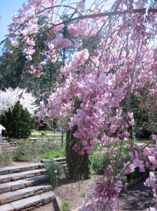 Weeping cherry branches