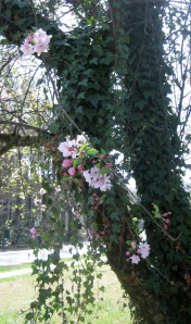 Ivy-covered cherry tree