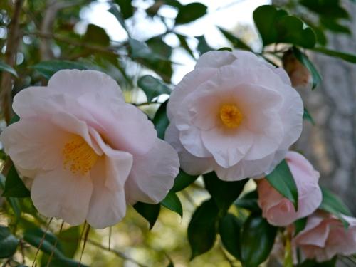 Some more happy camellias