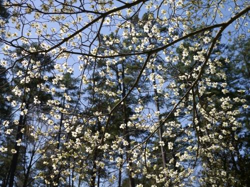 Dogwood flowers like lace