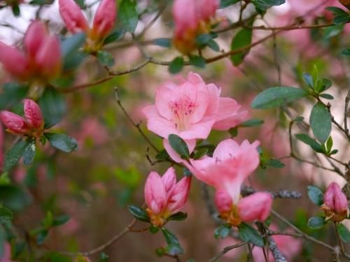 Azalea buds and flowers