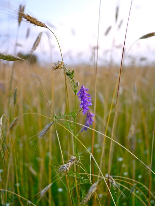 Purple flower amongst the grasses.