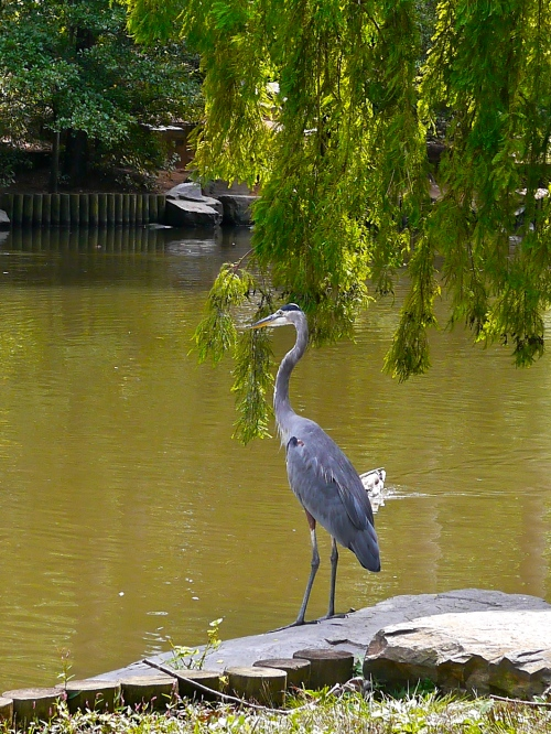 The hungry heron