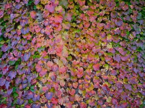 A rainbow of autumnal ivy