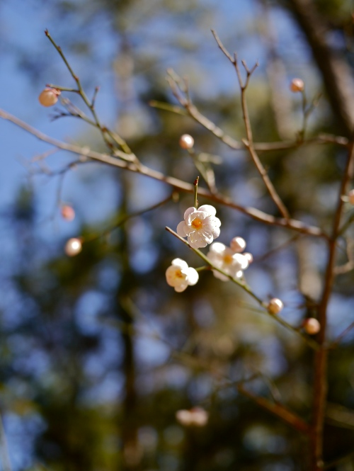 Flowering apricot blossoms, February 2015