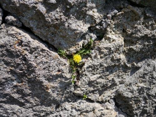 Tenacious dandelion.