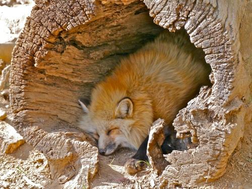 Hollow log nap.