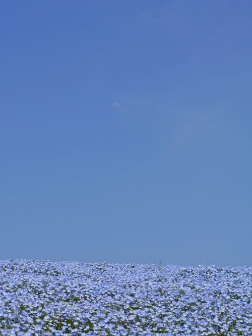 Nemophila, sky, moon.